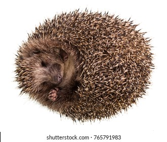Prickly little hedgehog funny curled into ball, isolated on white background