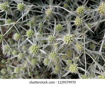Prickly nature beauty - eryngium