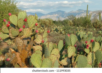 Prickly Pear Cactus in Desert at Sunset