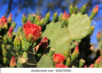 Prickly Pear Cactus Flower Bloom