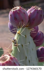 Prickly pear cactus with fruit. Prickly pear fruit is amazing in recipes!