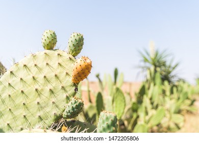 Prickly Pear Cactus With Fruit at Morocco Dessert . Healthy Cactus Fruit Outdoors. Healthy Food Concept.