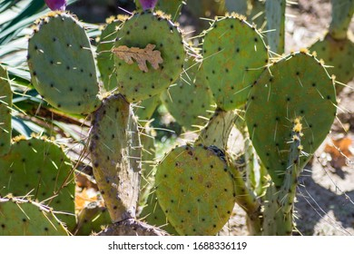 Prickly pear cactus, green Opuntia close-up, succulent plant outdoors, large needles