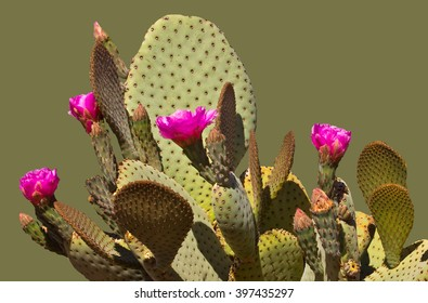 Prickly Pear Cactus on green background