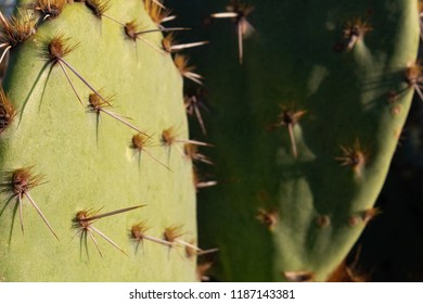 Prickly pear cactus pads in Tucson, Arizona. Great background with large thorns and green cacti. These sharp yet beautiful and dangerous flora are found in the Sonoran desert and the southwest USA,