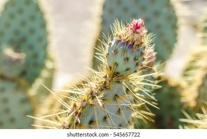 Prickly Pear Cactus with Pink Flower in Golden Desert Sun