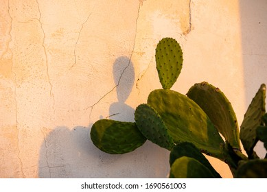 Prickly pear fruit (Opuntia, Fico d'India) at sunrise light, Sicily, Italy