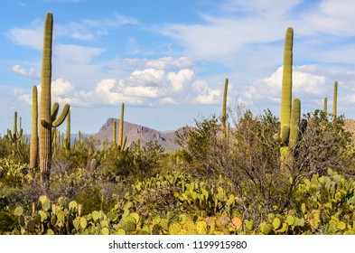 Prickly pear (genus: Opuntia) and tall saguaro cacti (binomial name: Carnegiea gigantea) in Saguaro National Park, Tucson, Arizona, USA, for themes of desert, survival, and the American Southwest