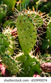 Prickly pear (Opuntia)
