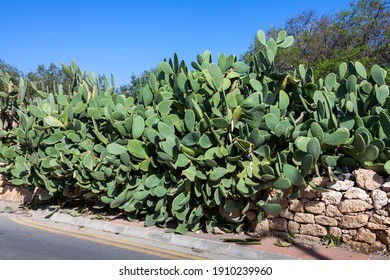 Prickly Pear opuntia cactus plant used as roadside hedging, whose bud is used as a fruit on the Meditteranian island of Cyprus and is commonly known as Indian Fig or Babutsa, stock photo image