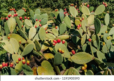 Prickly pear plant with fruits in the middle of nature in Sicily, cactus fruits