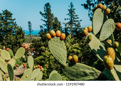 Prickly pear plant with yellow and orange cactus fruits, sea in the background