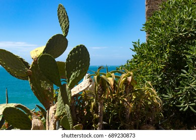 Prickly Pear seaview in italy vernazza