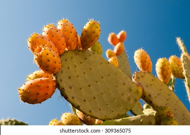 Prickly pears on a cactus plant