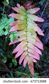 Prickly Rasp fern single leaf closeup