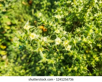 Prickly saltwort or glasswort, Salsola kali (Kali turgidum) growing on coastal dunes of Galicia, Spain