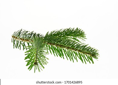 Prickly spruce branch green on a white background . Texture or background.