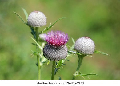 prickly thistle flower on green meadow soft photo