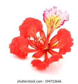 Pride of Barbados flower closeup, Isolated on white Background
