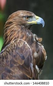 pride golden eagle