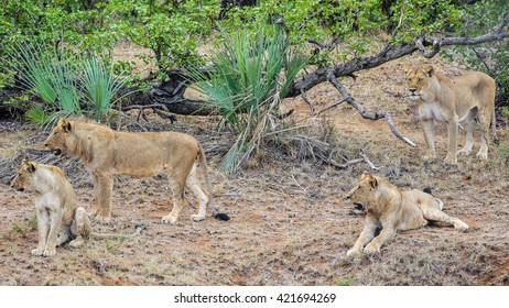 Pride of lions considering stalking food
