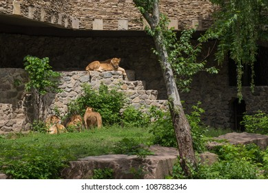 The pride of lions having rest on the sun in the zoo