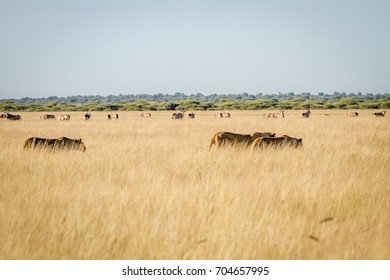 Pride of Lions in the high grass in the Central Kalahari, Botswana.
