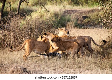 A pride of lions hunting and feeding in Serengeti National Park, Tanzania