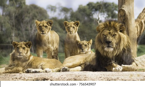 Pride of lions lounging in the sun and looking alert.