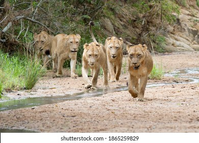 A pride of lions, Panthera leo, walk in a river bed towards camera