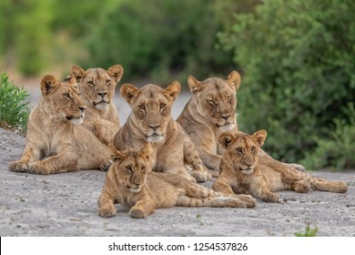 pride of lions resting, relaxed lions, lion family with cubs relaxing