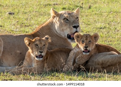 Pride of lions, three lion mothers and 8 cubes are resting in Masai Mara