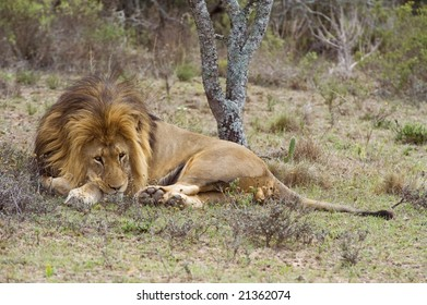 The Pride Male Rests under the tree in the heat of the day