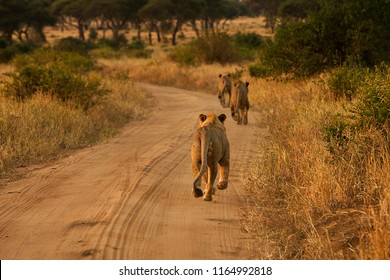 Pride of three lions running on African dirt road