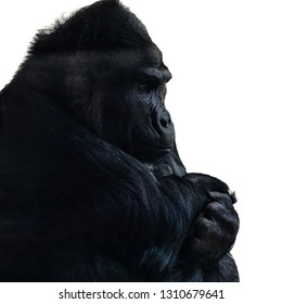 primate African monkey gorilla black color dominating male sits and wary looks at his paws folded on his chest