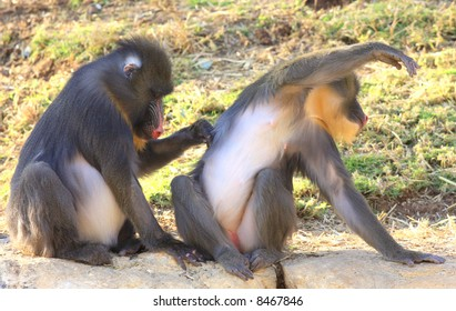 Primates cleansing each other