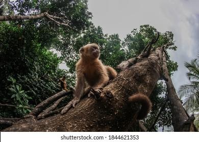 Primates in natural habitat - Monkeys hanging from riparian tree