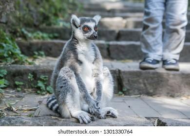 Primates, Squirrel Monkeys and Lemurs