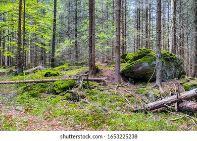 The primeval forest with mossed ground and old branches