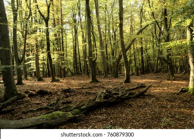 Primeval Forest on Darss in Germany