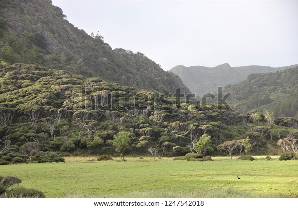 Primeval looking manuka tea tree forest in the Waitakere ranges of New Zealand, framed by lush green meadow in the front and hills shrouded in mist in the distance, a pukeko hen walking in the grass