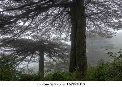 The primitive forest of Sanqing mountain in the fog