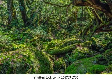 Primival forest hiking trails in Yakushima, Japan