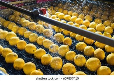 Primofiore Zitronen der Sorte Femminello Siracusano während des Waschprozesses einer modernen Produktionslinie