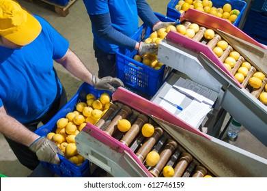 Primofiore Zitronen der Sorte Femminello Siracusano während der manuellen Verpackung in einer modernen Produktionslinie