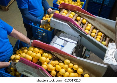 Primofiore lemons of the variety Femminello Siracusano during the manual packaging process in a modern production line