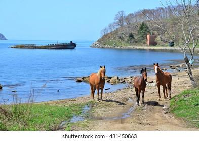 Primorye, Gamova Peninsula. Horses in the Bay Vityaz