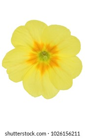 primrose blossom single yellow (Primula vulgaris) isolated on white