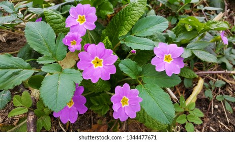 Primrose flower in the forest at spring