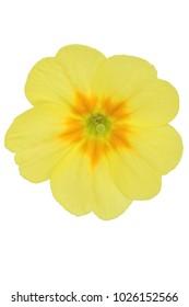 primrose flower single lemon (Primula vulgaris) isolated on white